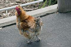 A silky bantam. The solkie bantam is on the path royalty free stock photography