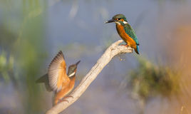 Sollecitare di due martin pescatori Fotografie Stock Libere da Diritti
