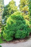 Sollitaire Japanese cedar, Cryptomeria japonica globosa. In an Arboretum during summer time Stock Photography