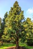 Japanese cedar, Cryptomeria japonica lobbii in a Dutch arboretum. Sollitaire Japanese cedar, Cryptomeria japonica lobbii, in a Dutch arboretum against a blue sky Royalty Free Stock Images