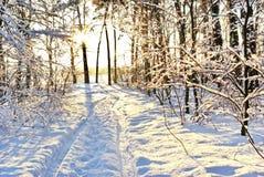 Solljus bland filialerna av träd i snöig vinterskog. Royaltyfria Foton