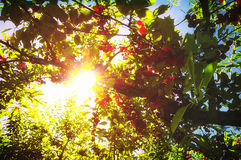 Solljus Cherry Tree Royaltyfri Foto
