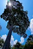 Solljus exponerar de stora träden i skog Arkivfoto