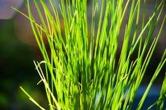 solljus för bladgräsgreen Arkivbild