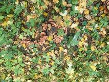 solljus för oak för skog för design för kant för ekollonhöstbakgrund Royaltyfri Foto