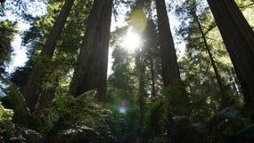 Solljus filtrerar till och med redwoodträd i Klamath, Kalifornien Royaltyfria Foton