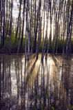 solljus för skogmorgonfjäder Royaltyfri Bild