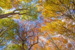 Solljus i bokträdskogen, höstnatur Fotografering för Bildbyråer