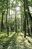 Solljus i den gröna skogen, fjädrar tid Arkivbilder