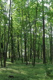 Solljus i den gröna skogen, fjädrar tid Royaltyfria Foton