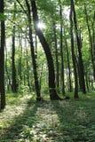 Solljus i den gröna skogen, fjädrar tid Arkivfoto