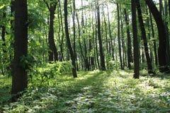 Solljus i den gröna skogen, fjädrar tid Arkivfoton