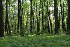 Solljus i den gröna skogen, fjädrar tid Fotografering för Bildbyråer