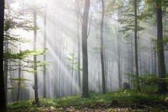 Solljus i en oakskog Royaltyfri Foto