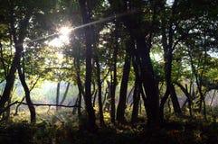 Solljus i mörk skog Arkivfoton