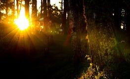 Solljus i pinjeskog Arkivfoton