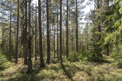 Solljus i pinjeskog i Sverige royaltyfria foton