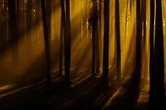 Solljus i skogen Royaltyfri Fotografi
