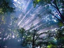 Solljus i skogsommar Fotografering för Bildbyråer