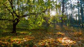 Solljus i tidiga Autumn Forest Tracking Shot lager videofilmer
