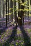 Solljus i vårskog med blomninghyacinten Royaltyfri Fotografi