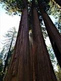 Solljus kikar till och med sequoior Royaltyfri Fotografi