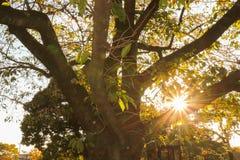 Solljus mellan sidorna av trädet på solnedgången royaltyfri bild
