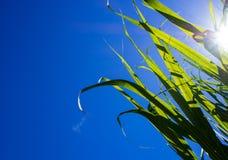 Solljus och blå himmel över sockerrörsidor Arkivfoton