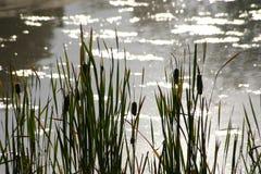 Solljus på cattails Royaltyfria Bilder