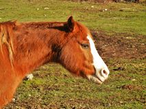 Solljus på en häst Fotografering för Bildbyråer