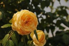 SOLLJUS PÅ GULA ROSOR PÅ EN BUSH Royaltyfria Bilder