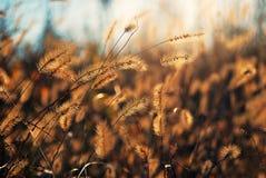 Solljus sedda delikata spicas för en throung Fotografering för Bildbyråer