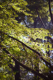 Solljus skiner mellan sidorna i skogen Royaltyfri Fotografi