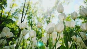 Solljus skiner till och med kronbladen av vita tulpan härlig liggandefjäder Arkivfoton