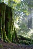 Solljus som kommer till och med träd i en skog Royaltyfri Fotografi