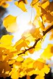Solljus som kommer till och med trädfilialer med gula sidor Royaltyfri Bild