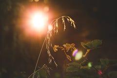 Solljus som skiner bak vete och den rosa busken Arkivfoto