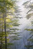 Solljus som skiner till och med bokträdskog Arkivbilder