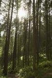 Solljus som skiner till och med träd i skog Royaltyfria Bilder