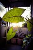 Solljus till och med blad Fotografering för Bildbyråer