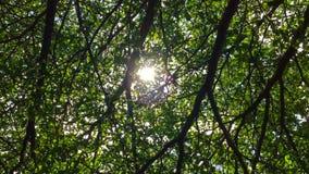 Solljus till och med de gröna trädfilialerna stock video