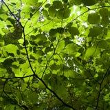 Solljus till och med gröna sidor Arkivbild