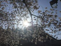 Solljus till och med körsbärsröda blomningar Fotografering för Bildbyråer