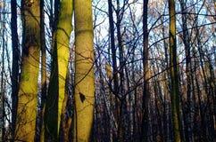 Solljus till och med träden i hösten Arkivfoto