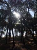 Solljus till och med trees Fotografering för Bildbyråer