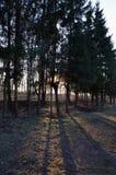 Solljus till och med treesna Royaltyfria Bilder