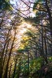 Solljusavbrott till och med högväxt sörjer träd över en slinga i en skog på lutningarna av berget arkivfoton
