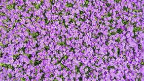 Solljusgläntan med mycket lilla purpurfärgade Aubrieta blommar Arkivfoton