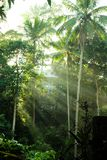 Solljuskokospalm, härlig morgon i skogen Ubud, Bali, Indonesien royaltyfri fotografi