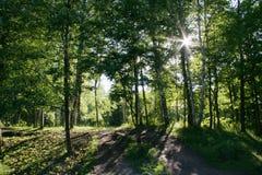 Solljussken till och med träd i ljusa strålar för mörk skog bland l Royaltyfri Foto